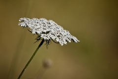 Spain 2018 Day 2 - Queen Anne's Lace