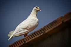Spain 2018 Day 2 - White pigeon on casita roof